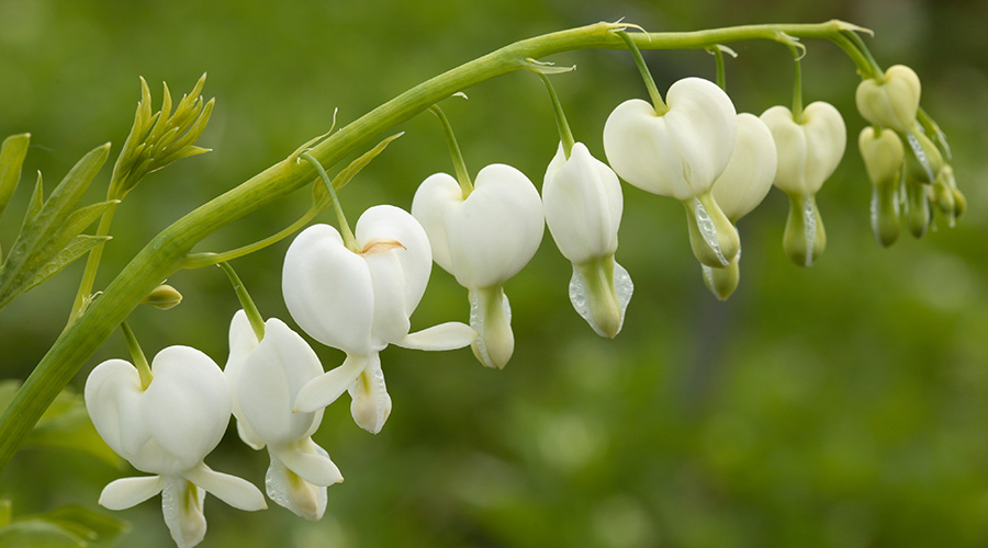 Bleeding Heart — Lamprocpanos Spectabilis - Plants for shade