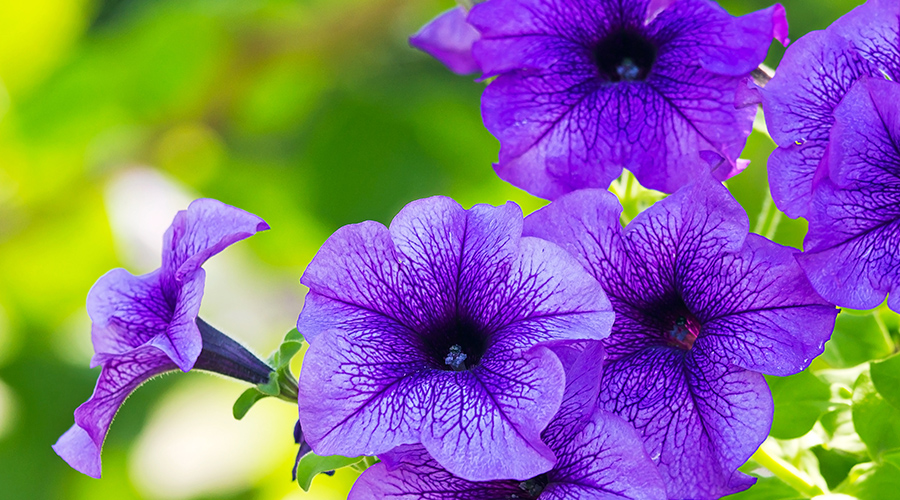 Purple Petunia – Petunia X Hybrida - plants for shade