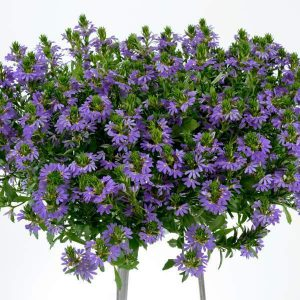 "12"" HERO - Scaveola Hanging Baskets (2 for $40) ONLY AVAILABLE IN STORE"