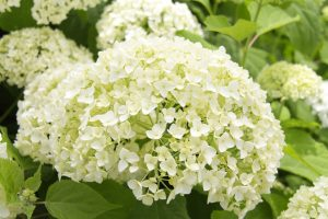Hydrangea arb. Annabelle 2gal AVAILABLE IN STORE ONLY ON SALE