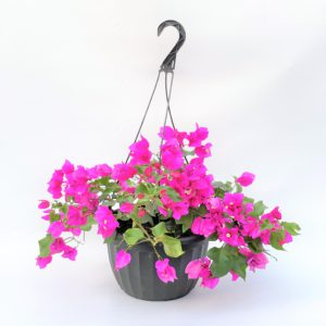 10 inch bougainvillea hanging basket
