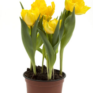 Yellow potted tulips