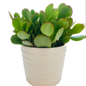 4 inch jade plant in ceramic pot