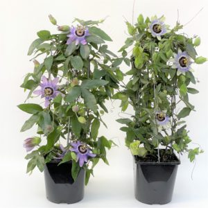 passionflower plant