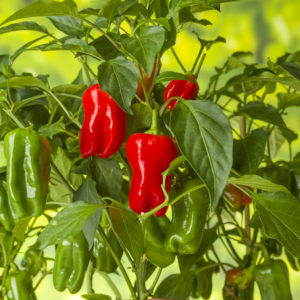 """5"""" Pick and Joy Vegetables snacking peppers"""