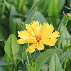 Coreopsis 2gal