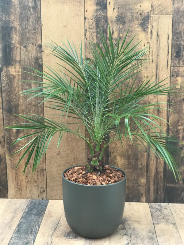 Robellini Palm - 10 inch potted plant