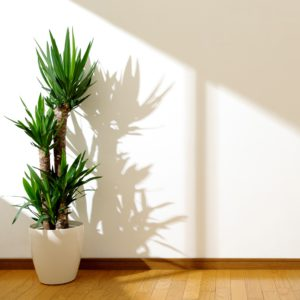 yucca canes in white pot