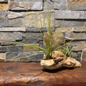 Aeronthos Bronze and Large Air Plant