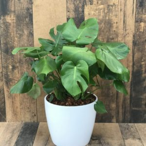 """Monstera potted tropical in 10"""" Marlow pot"""