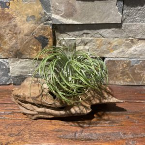 Stricta Green Large Air Plant $19.99